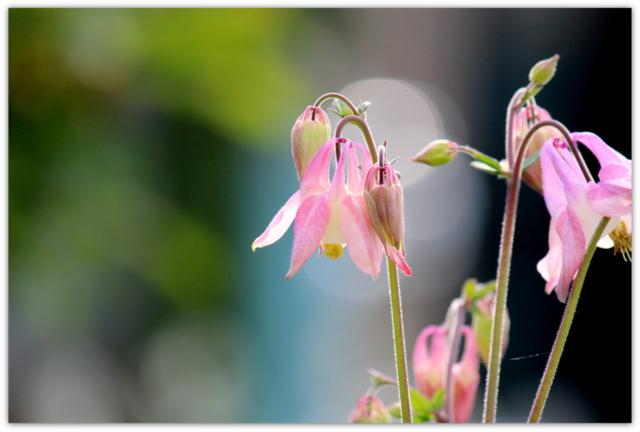 花 写真 オダマキ