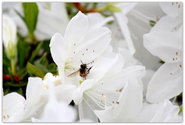 花 写真 サツキ