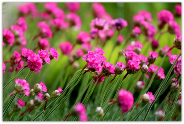 花 写真 アルメリア