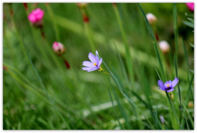 花 写真 ハナニラ