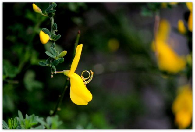花 写真 エニシダ