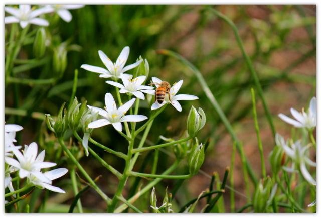 弘前城植物園 花 オーニソガラム 写真 ハチ