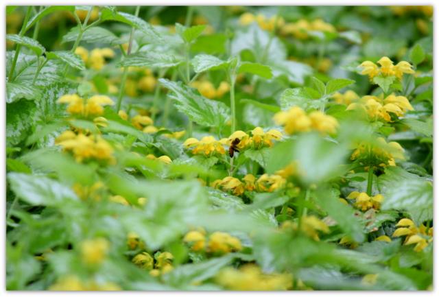 弘前城植物園 花 ラミウム 写真 ハチ