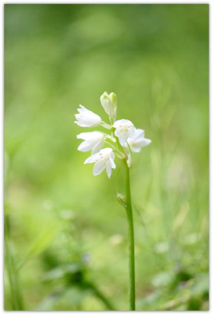 弘前城植物園 白神山地生態園 植物 写真 花 シラー