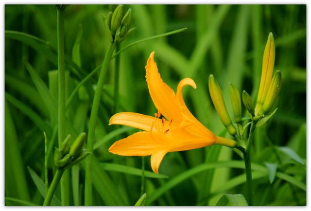 弘前城植物園 ニッコウキスゲ 湿性植物園 花 写真