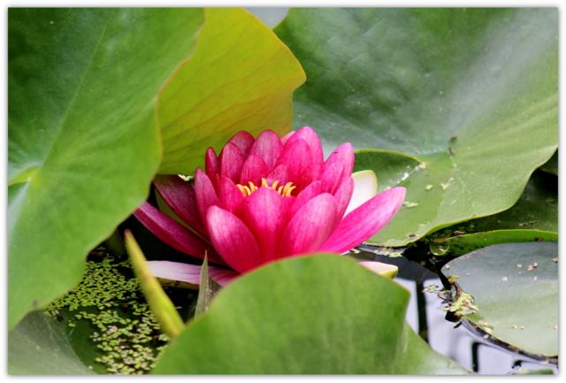 弘前城植物園 スイレン 湿性植物園 花 写真