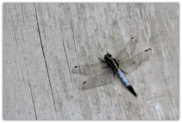弘前城植物園 シオカラトンボ 湿性植物園 写真