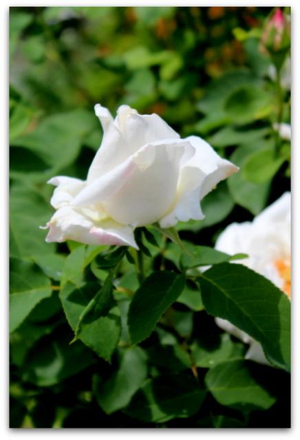 花 写真 バラ ばら 薔薇