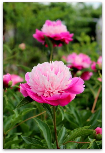 花 写真 芍薬 シャクヤク