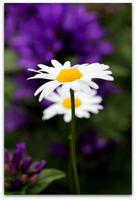 花 写真 マーガレット