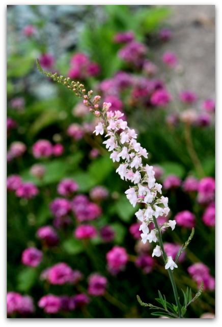 花 写真 リナリア