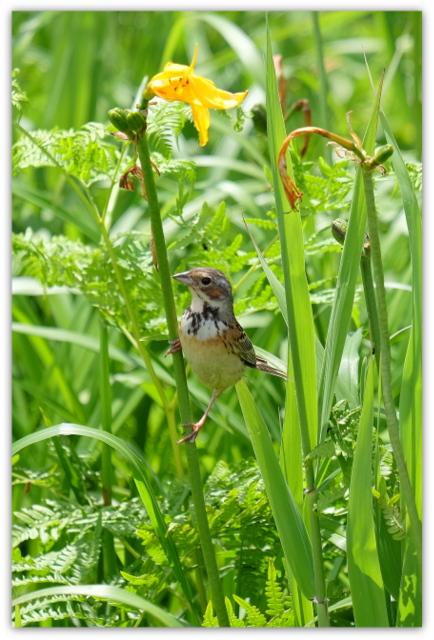 青森県 観光 自然 つがる市 ベンセ湿原 ニッコウキスゲ 日光黄菅 ノハナショウブ 野花菖蒲 野鳥 鳥 ホオアカ 写真