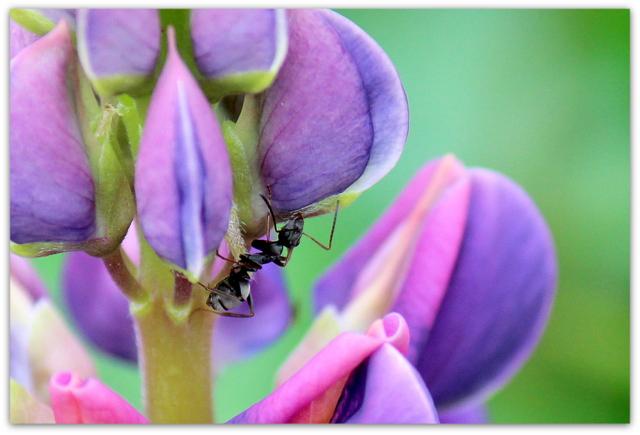 写真 ルピナス 花 蟻 あり アリ 植物 昆虫