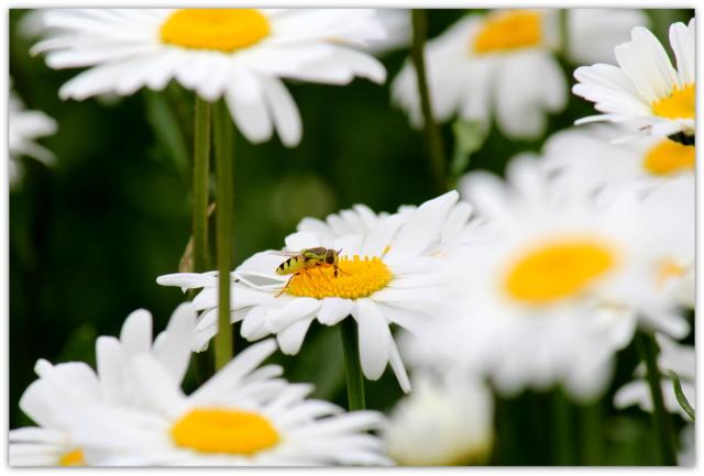 写真 蜂 ハチ はち 昆虫 花 マーガレット 植物
