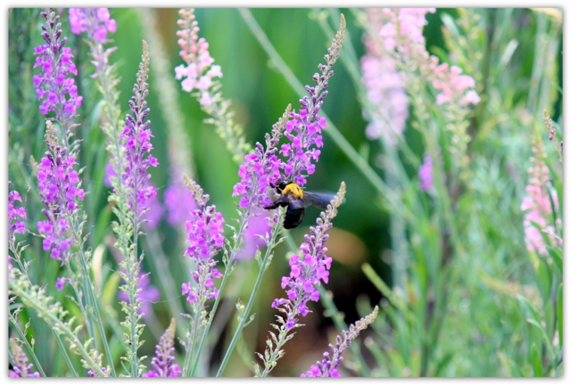 花 写真 リナリア 蜂 はち ハチ 昆虫 写真