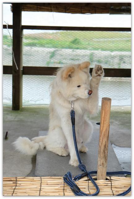 青森県 鰺ヶ沢町 わさお 犬 観光