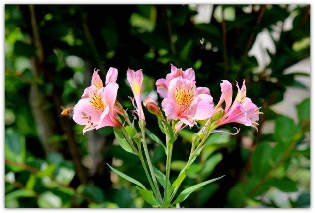 アルストロメリア 花 写真 はな ハナ