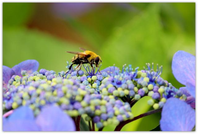 花 写真 紫陽花 あじさい アジサイ 蜂 はち ハチ