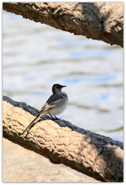 野鳥 鳥 とり トリ 写真 セキレイ