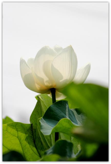 青森県 弘前市 革秀寺 観光 蓮の花 トンボ 写真