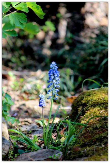 ムスカリ 花 写真