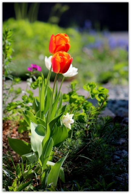 チューリップ 花 写真