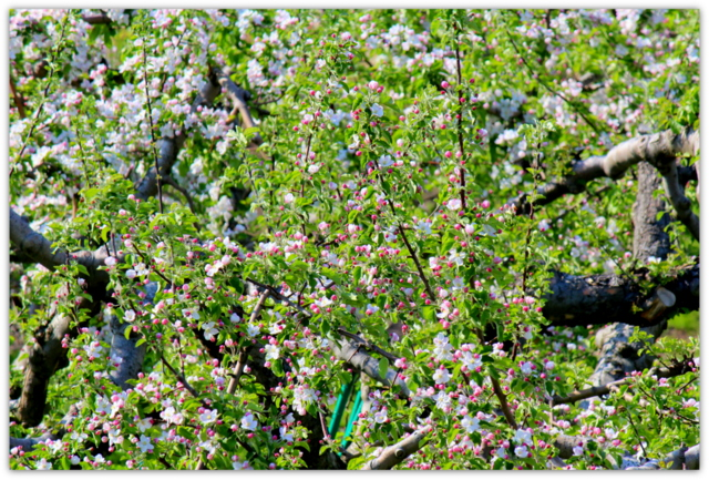 りんごの花 写真