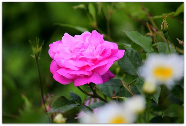 ばら バラ 薔薇 花 写真