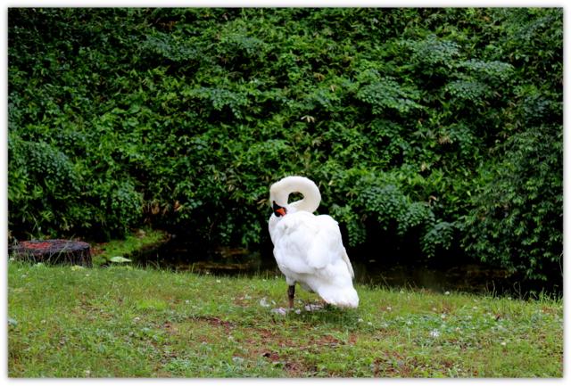 弘前公園 白鳥