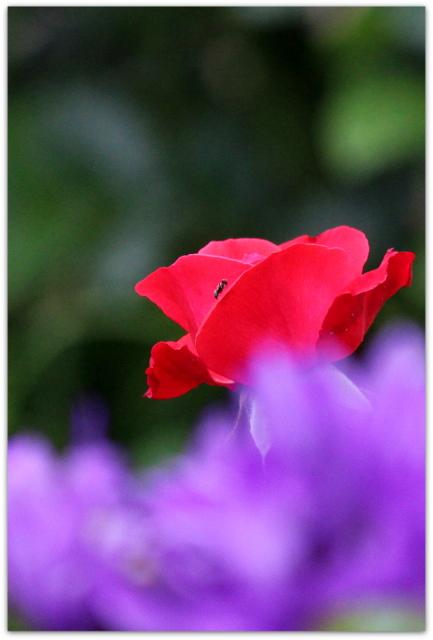 写真 花 薔薇 ばら バラ