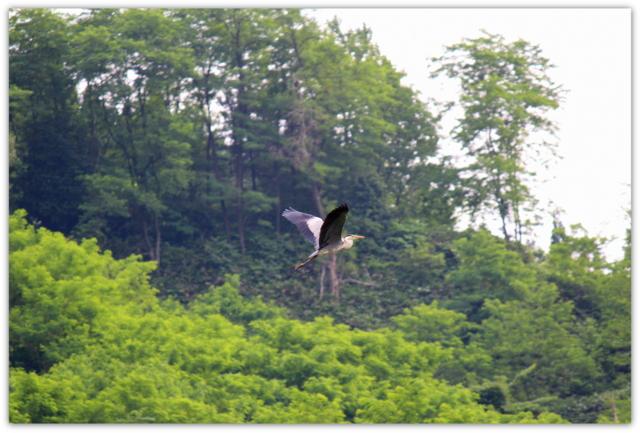 鳥 野鳥 サギ 鷺 さぎ とり トリ 写真 アオサギ あおさぎ 青鷺