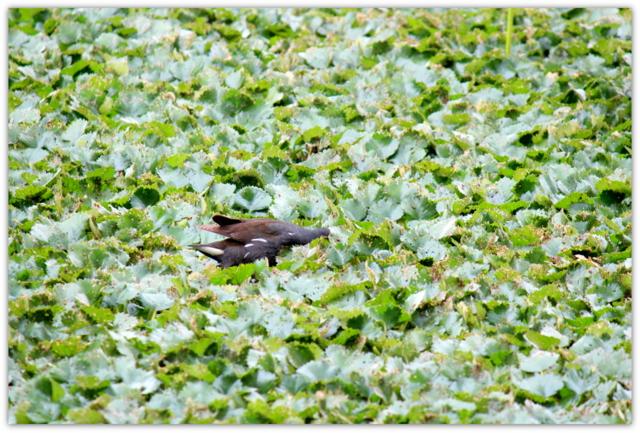 平川市 猿賀神社 鏡ヶ池 蓮の花 青森県 観光 野鳥 バン 写真