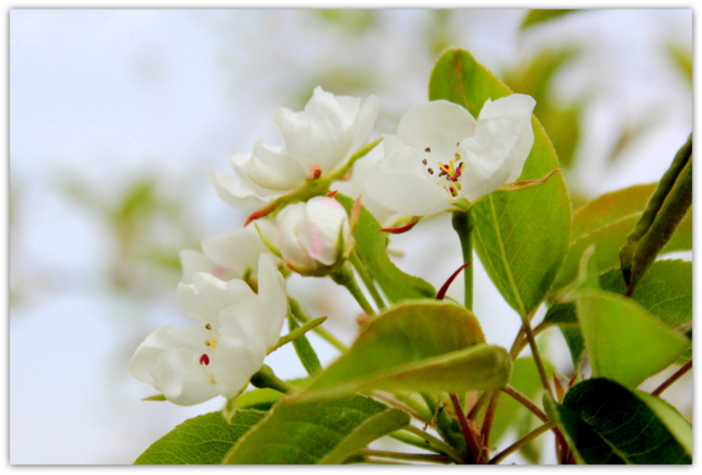 梨の花 写真