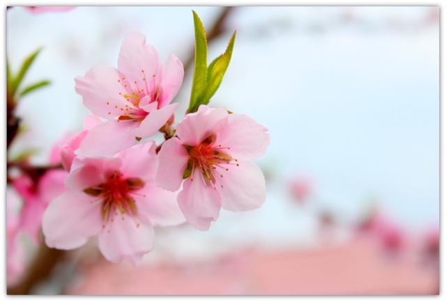 桃の花 写真
