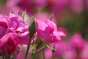 まくりんさんピンクのお花