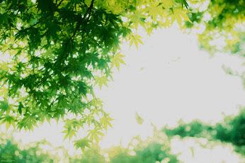 まくりんさん 緑の紅葉