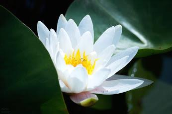 まくりんさん 白い花