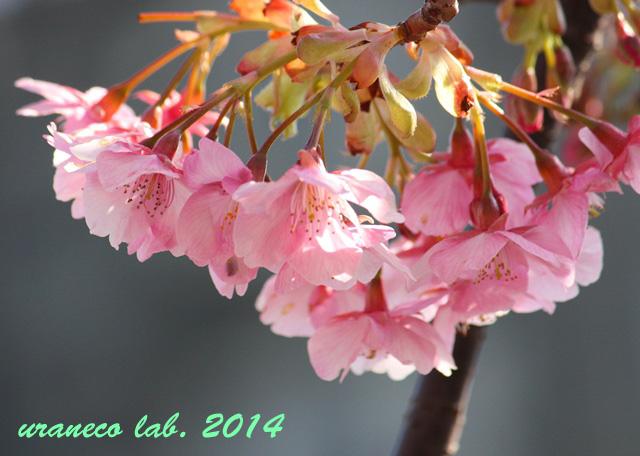 2月20日河津桜