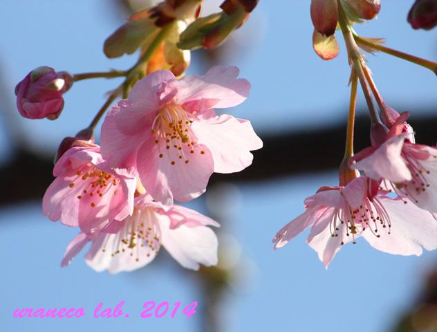 2月20日河津桜2