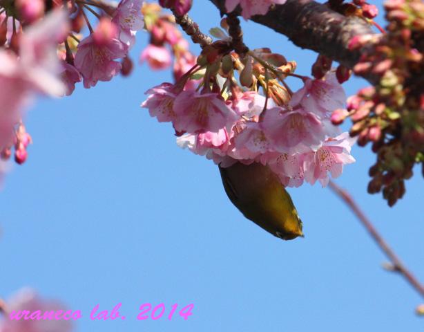 2月20日河津桜とメジロ