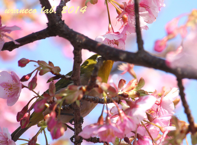 2月20日河津桜とメジロ2