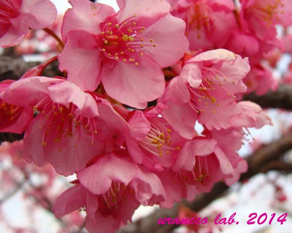 2月23日河津桜曇天3