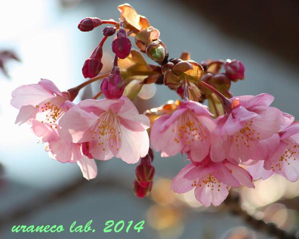 2月25日河津桜色の風景4