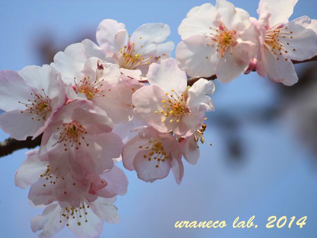 2月20日寒桜