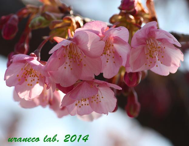 2月25日河津桜