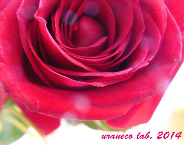 2月23日薔薇3