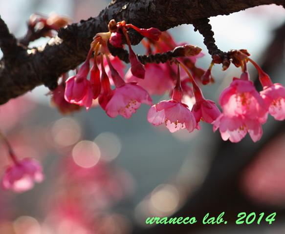 2月25日河津桜4