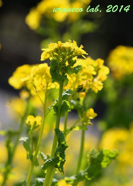 3月3日菜の花