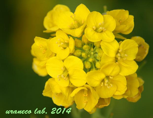 3月3日菜の花5
