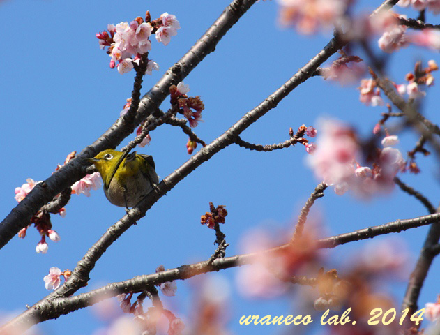 2月20日寒桜とメジロ